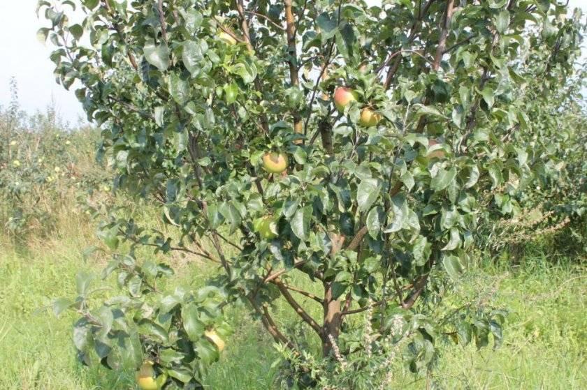 Сорт яблони васюган: описание и подробная характеристика, правила выращивания