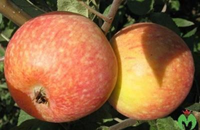 Описание и характерные яблони сорта коробовка