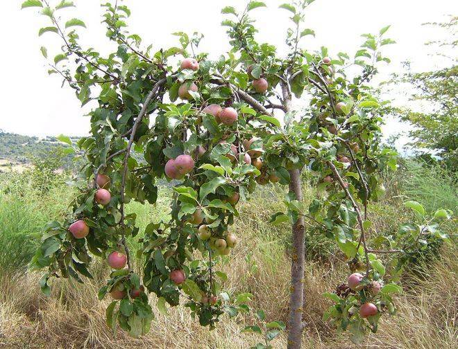 Декоративная яблоня: сорта, посадка и уход