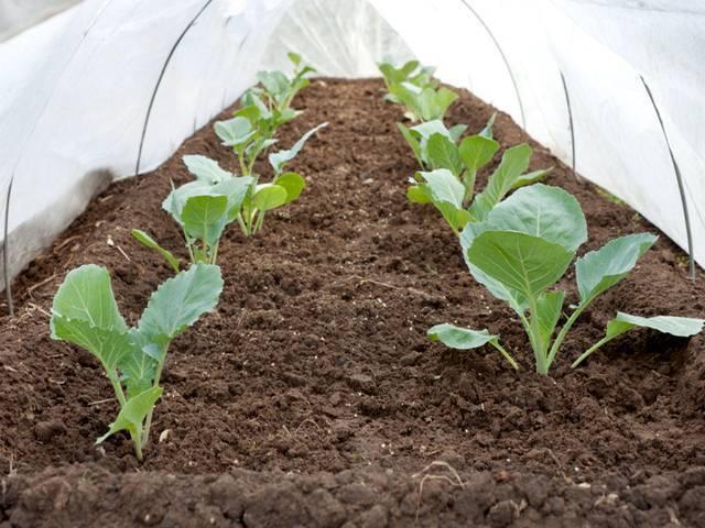 Выращивание рассады цветной капусты: сроки посадки и возможные проблемы