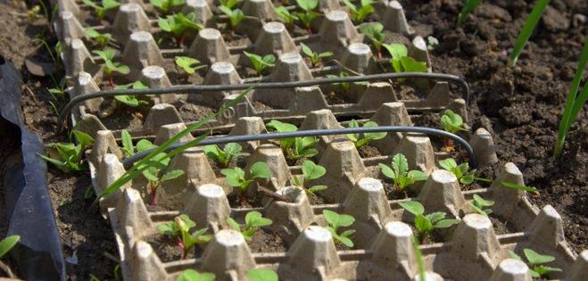 Как посадить редис в грунт