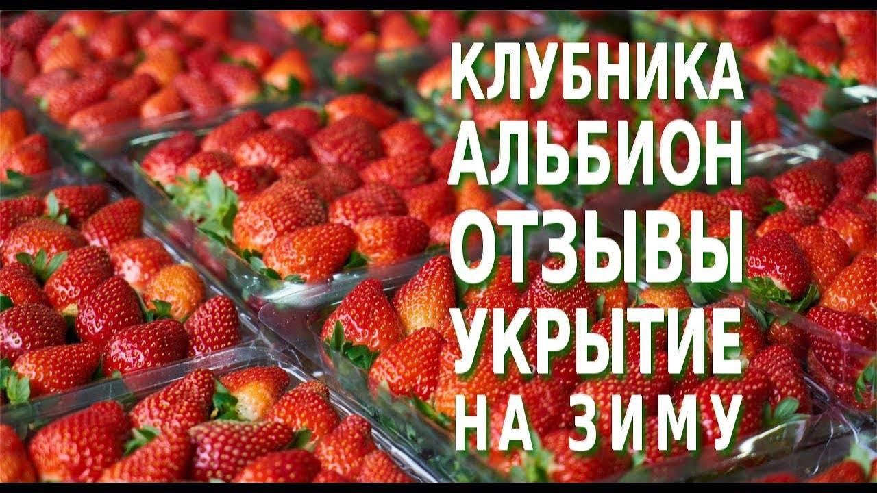 Клубника альбион - описание сорта, правила ухода и методы выращивания