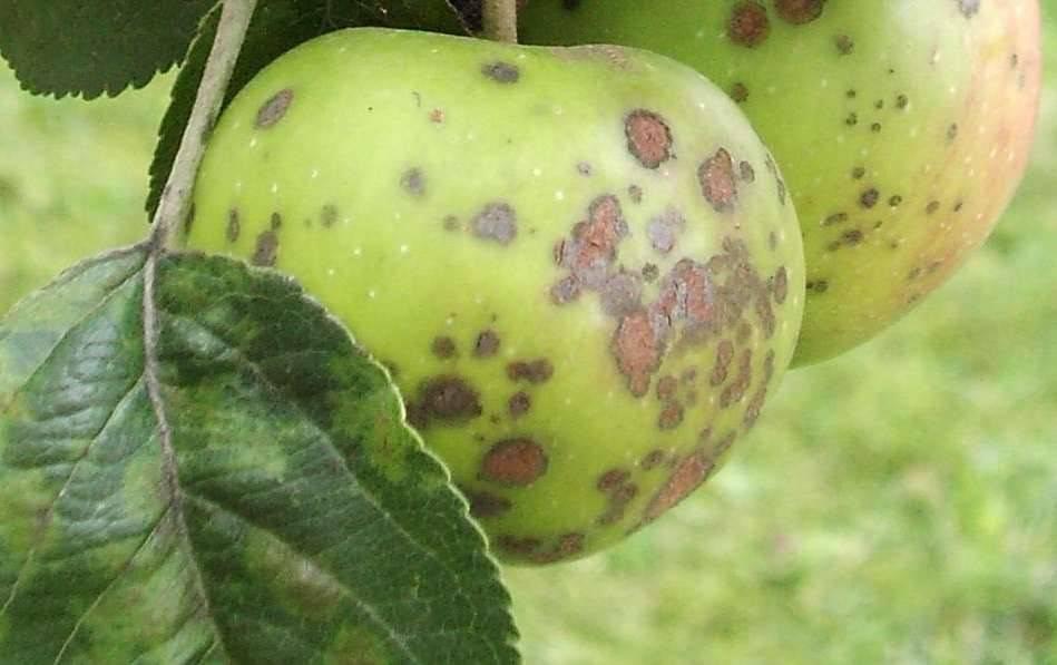Как вылечить грушу от парши. химические препараты