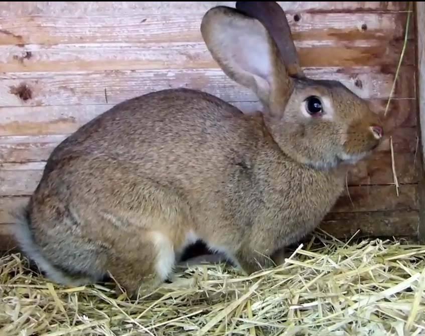 Болезнь кроликов миксоматоз и ее лечение