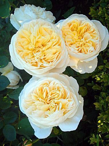 Розы остинки — красные и прекрасные