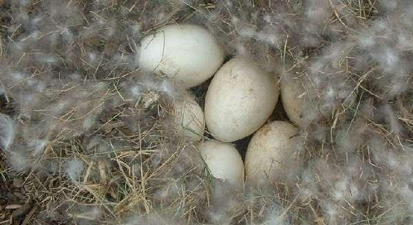 Особенности яйценоскости гусей в домашних условиях - общая информация - 2020