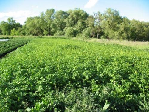 Какие сидераты посадить после картофеля, чтобы обогатить землю