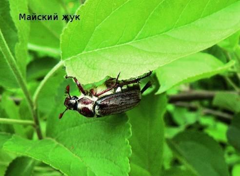 Болезни и вредители груши - описание с фото, борьба с ними