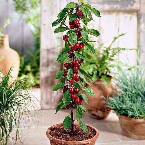 Колоновидная черешня – украшение небольшого сада