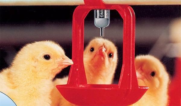 Лечение кур водкой: лечим бройлеров и цыплят - можно ли пропоить (дозировка)