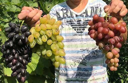 Как правильно посадить виноград в холодных регионах