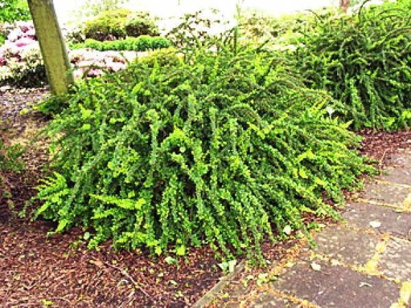 Барбарис грин карпет (green carpet): описание и фото