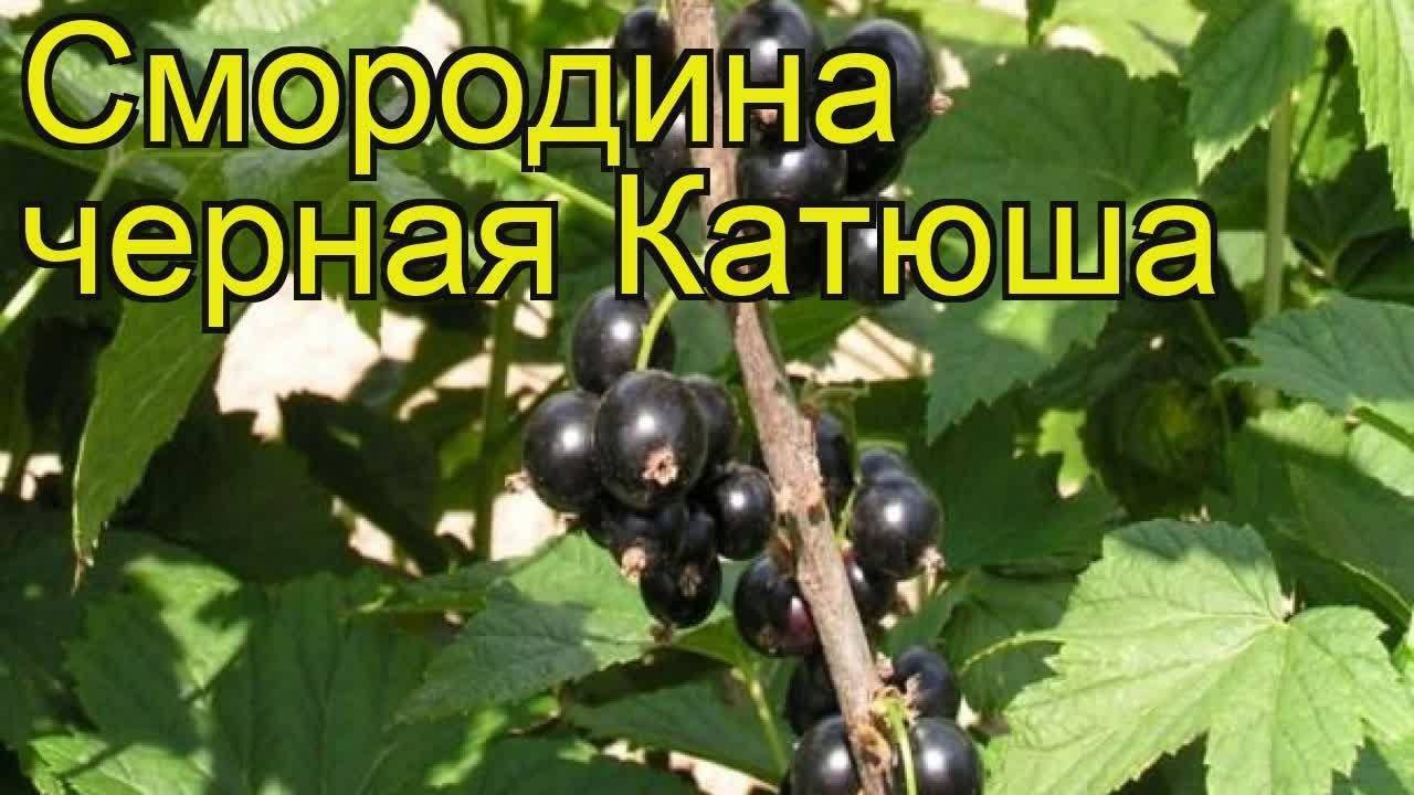Смородина черная катюша ️