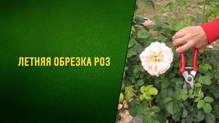 Обрезка роз осенью после цветения – полезные советы и подробная инструкция для начинающих