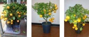 Сложноли вырастить мандариновое дерево вдомашних условиях?