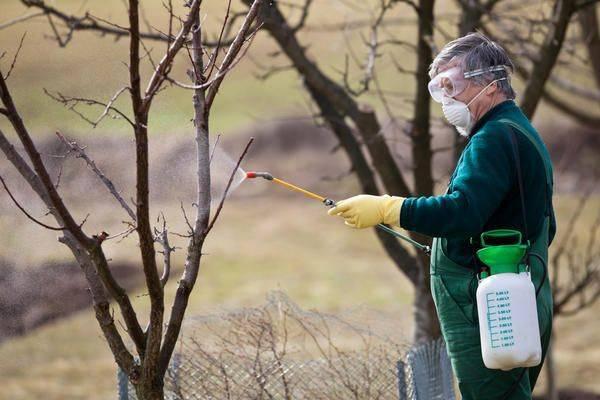 Как вырастить грушу из саженца: посадка, полив и внесение удобрений