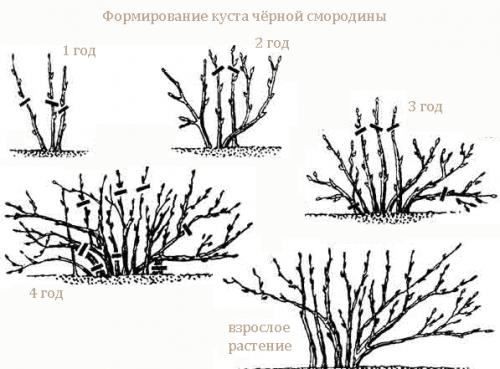 Весенний уход за смородиной и крыжовником: полив, удобрение, опрыскивание
