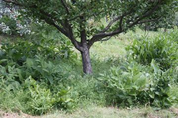 Какую траву посеять под яблонями в саду. какие растения можно посадить под кроной яблони? варианты использования приствольного круга