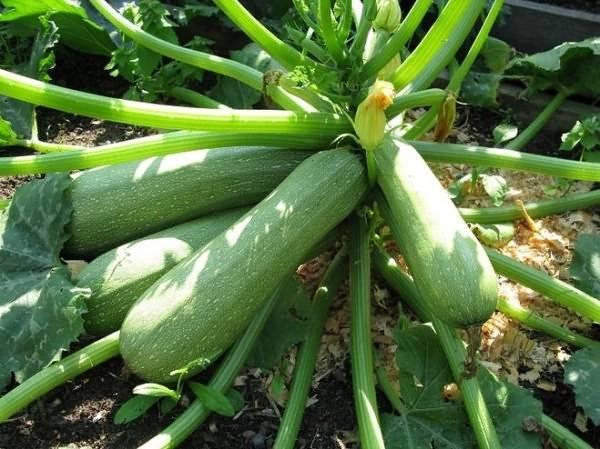 Замочить семена кабачков