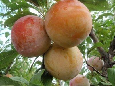 Слива сорта машенька: характеристика и особенности выращивания