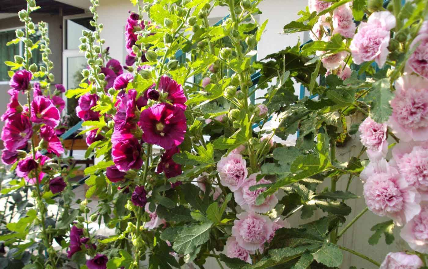 Шток-роза: выращивание из семян, когда сажать и как вырастить мальву, как вырастить шток-розу – посадка и уход