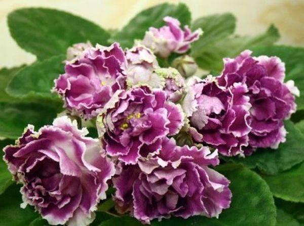 О фиалке Ледяная роза: описание и характеристики, уход и выращивание