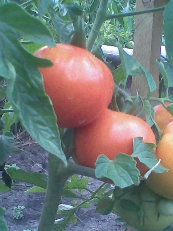Чем подкормить рассаду помидор, чтобы были толстенькие