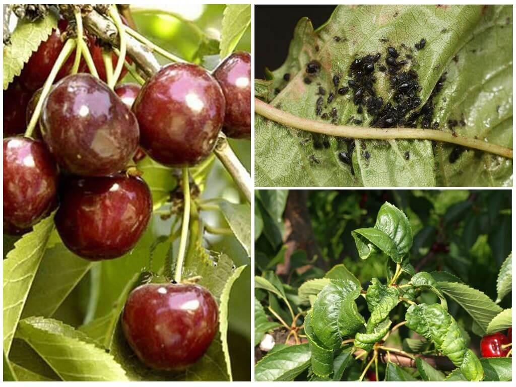 Тля на вишне – как избавиться при помощи мыла, чеснока, кока-колы, соды и чистотела, эффективные биологические средства