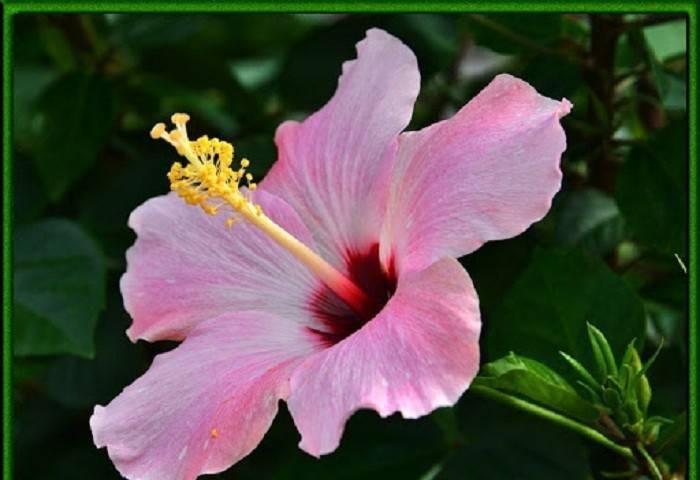 Китайская роза или, как ее часто называют, цветок смерти — почему она получила такое прозвище