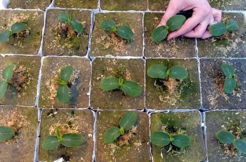 Посадка арбузов в открытый грунт: сроки посева и правила выращивания