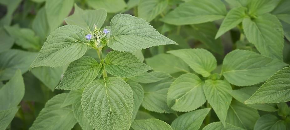 Туя растение: описание, как выглядит, где растет