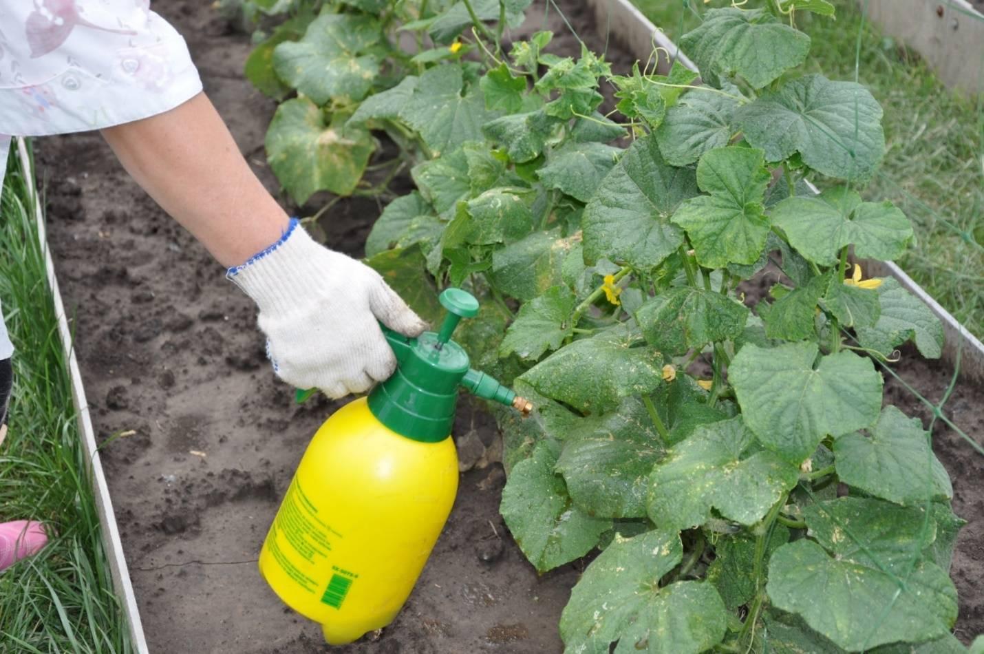 О соде для опрыскивания огурцов: удобрение и подкормка, средство от тли