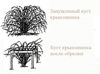 Крыжовник: посадка и уход, обрезка и обработка