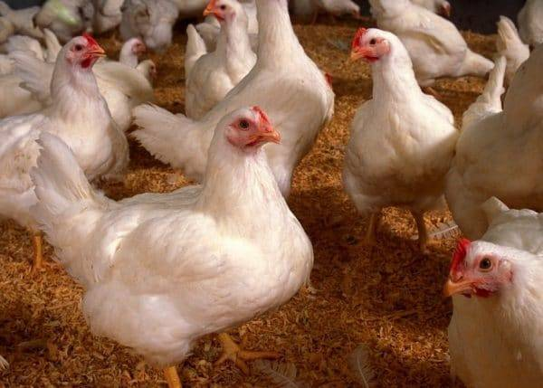 Болезни кур: виды и способы лечения