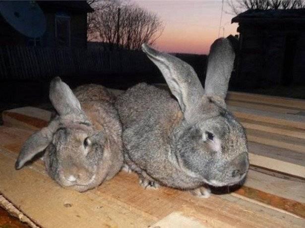 Вздутие живота у кроликов, первая помощь, лечение и профилактика