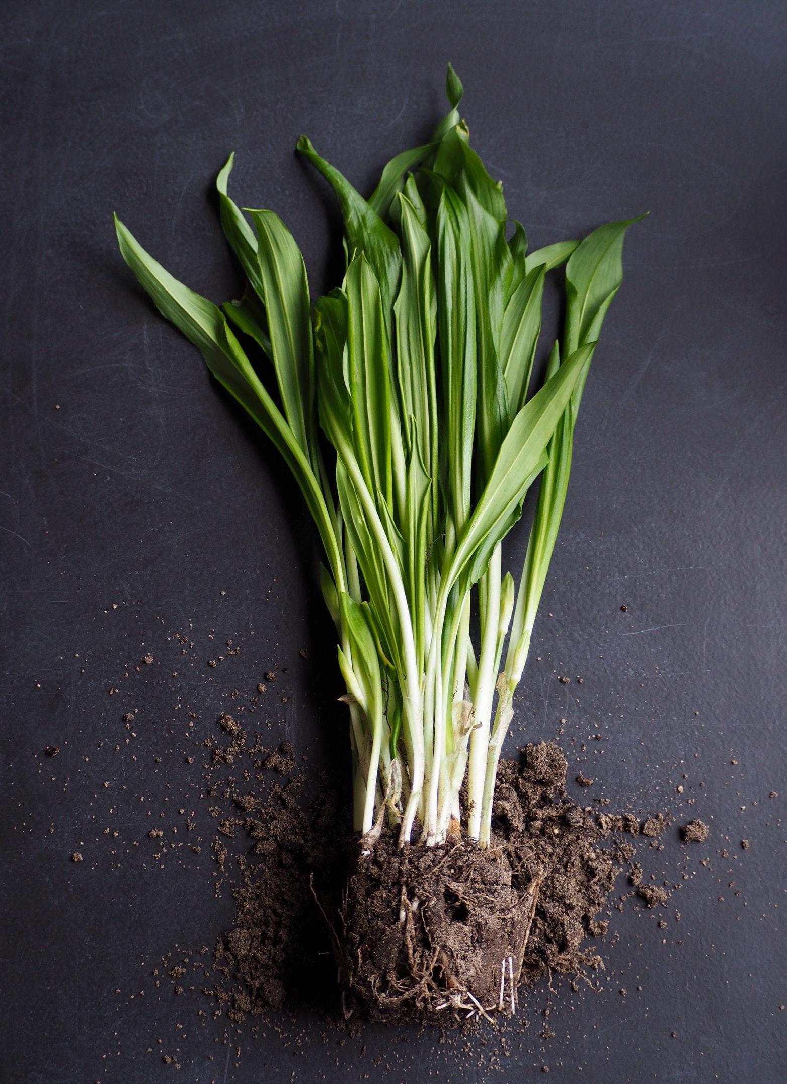 Что такое черемша, как выглядит дикий чеснок, как его правильно выращивать