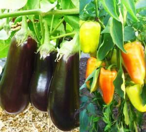 Подкормки и поливы баклажанов в теплице и открытом грунте