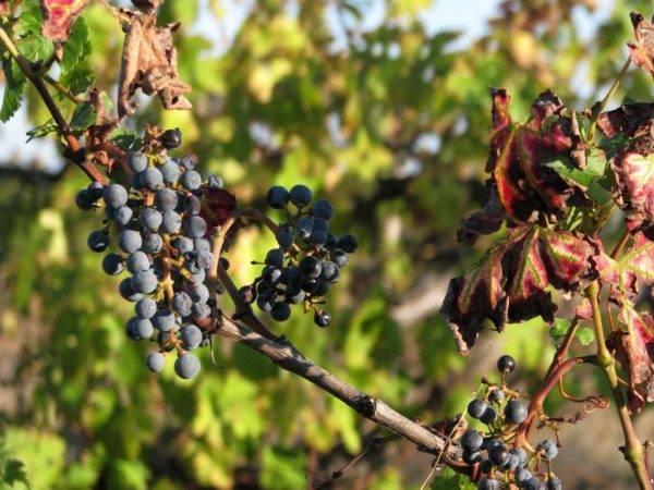 Почему вянут грозди винограда во время созревания – 10 основных причин и советы по профилактике