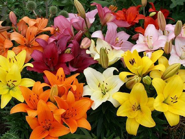Домашняя лилия в горшке: фото, как посадить и выращивать, уход