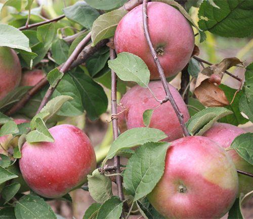 Особенности посадки и ухода за яблоней конфетное
