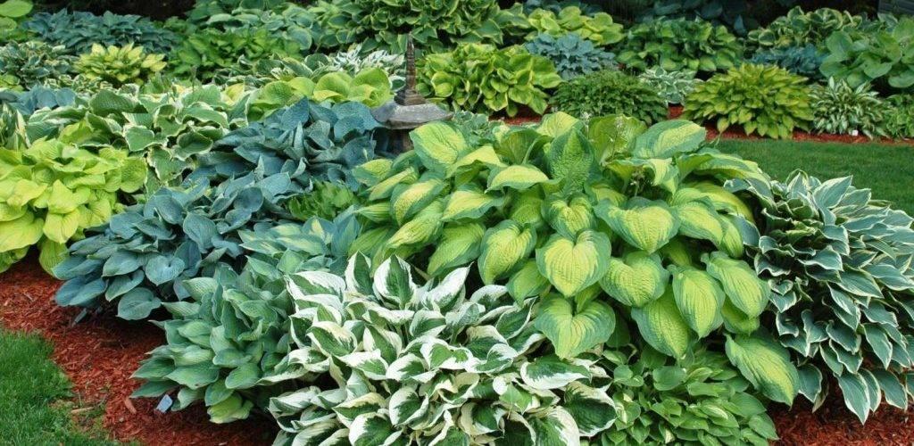 О выращивании хосты в открытом грунте на даче (агротехника выращивания в саду)