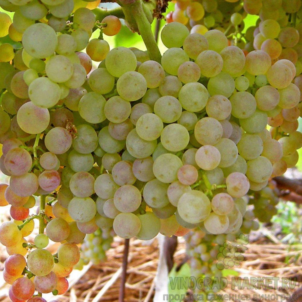 Виноград коринка русская: характеристика и описание сорта, выращивание