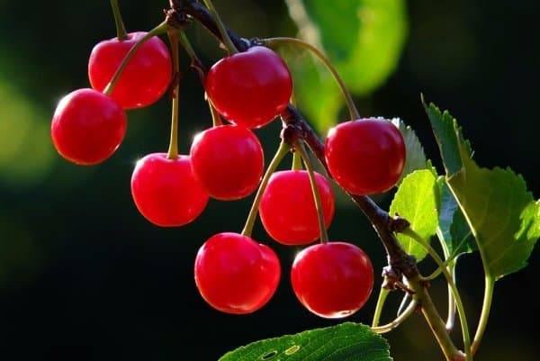 Какие сорта вишни для урала лучше выращивать