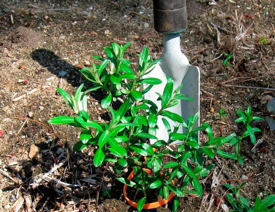 Облепиха: посадка весной, выращивание и уход