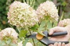 О метельчатой гортензии мэджикал мунлайт — особенности сорта и выращивание