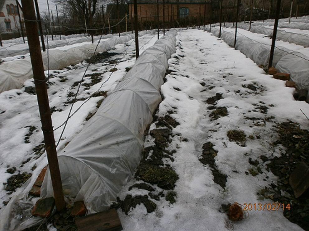 Как правильно укрыть виноград на зиму: мероприятия и способы укрытия в средней полосе, сибири, урале   (фото & видео)