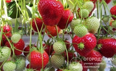 О сорте клубники соната: описание, агротехника выращивания, как ухаживать