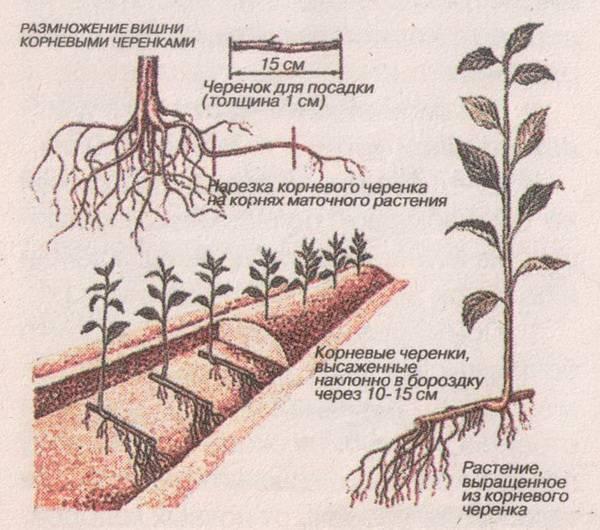 Размножение сливы черенками: заготовка, укоренение, посадка и уход