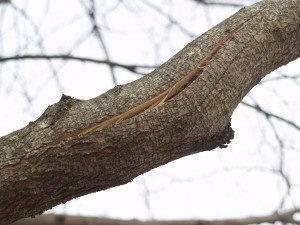 Чем заделать дупло в плодовом дереве