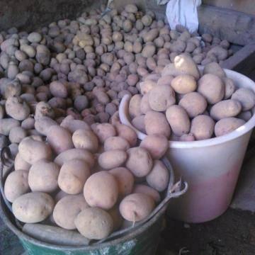 Характеристика семенного картофеля «романо», описание сорта и фото